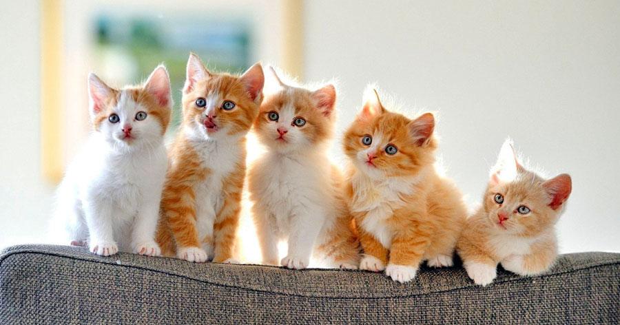 Кошки на Садоводе купить недорого с прививками и паспортами