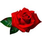 Розы на рынке Садовод в Москве купить оптом и в розницу