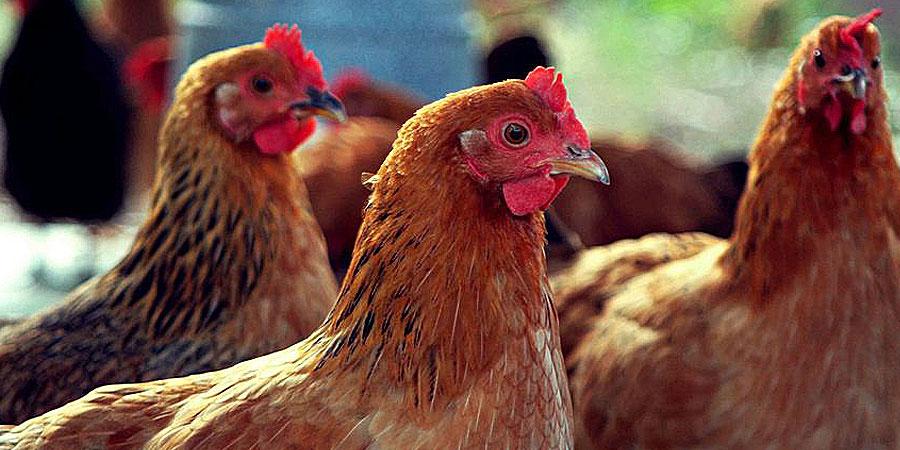 Куры на рынке Садовод купить (Птичий рынок)