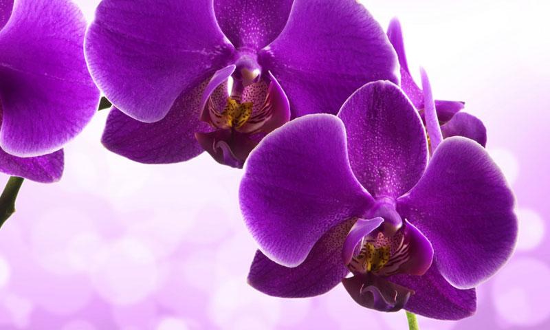 Орхидеи купить на Садоводе недорого в Москве